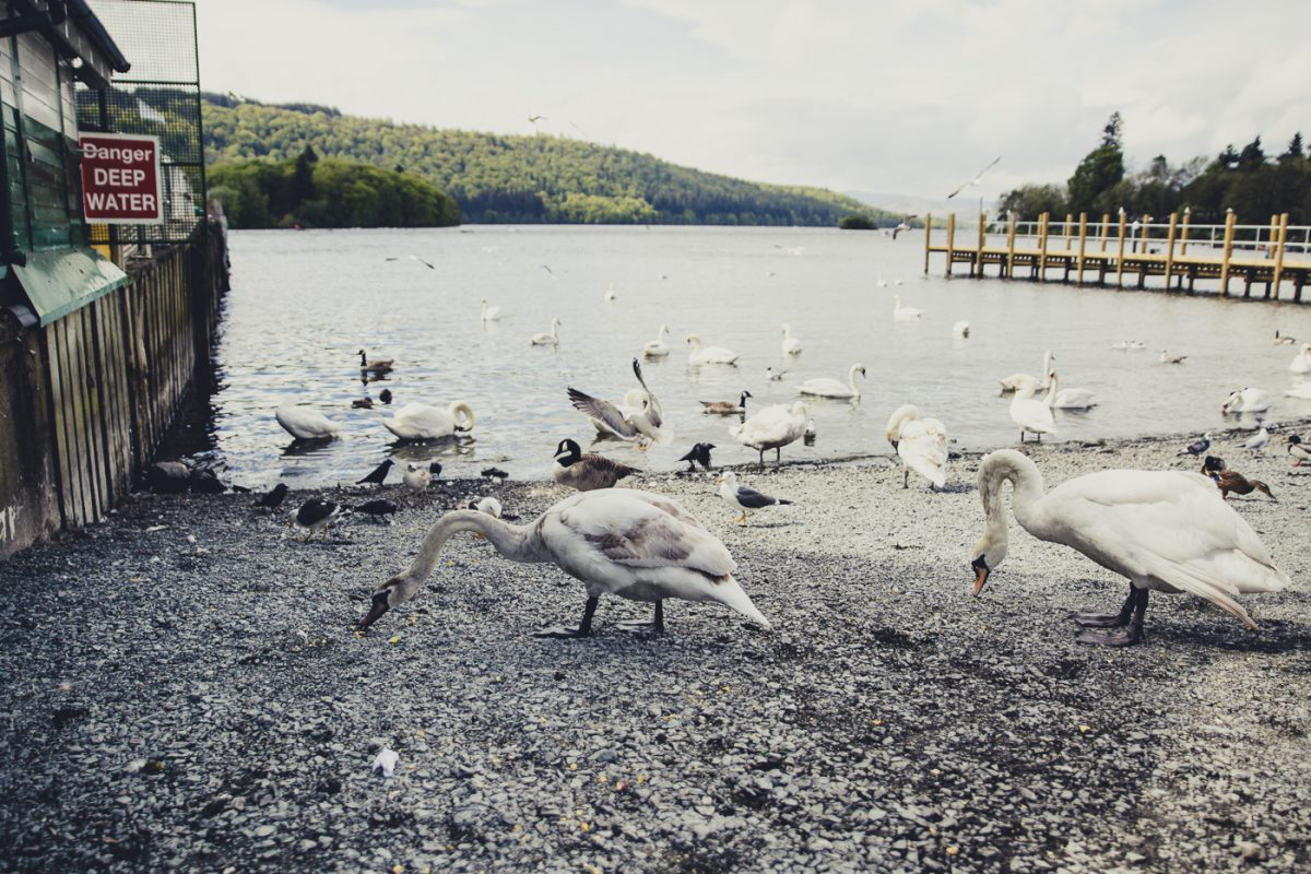 swans, lake windermere , bowness lake